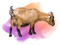 Lembu Kambing Akikah-Aqiqah-Aqiqah-Untuk-Anak-Lelaki-Pakej-Aqiqah-2